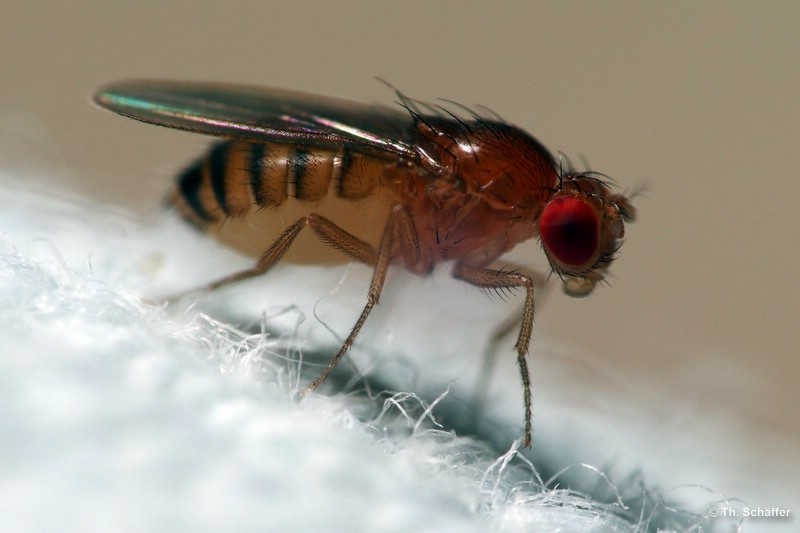 Drosophila melanogaster, Wildform