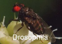 Drosophilazucht